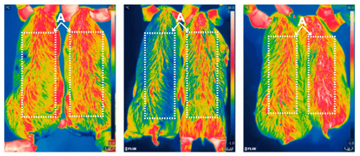 Infrared pictures of CRISPR genetically engineered pig meat