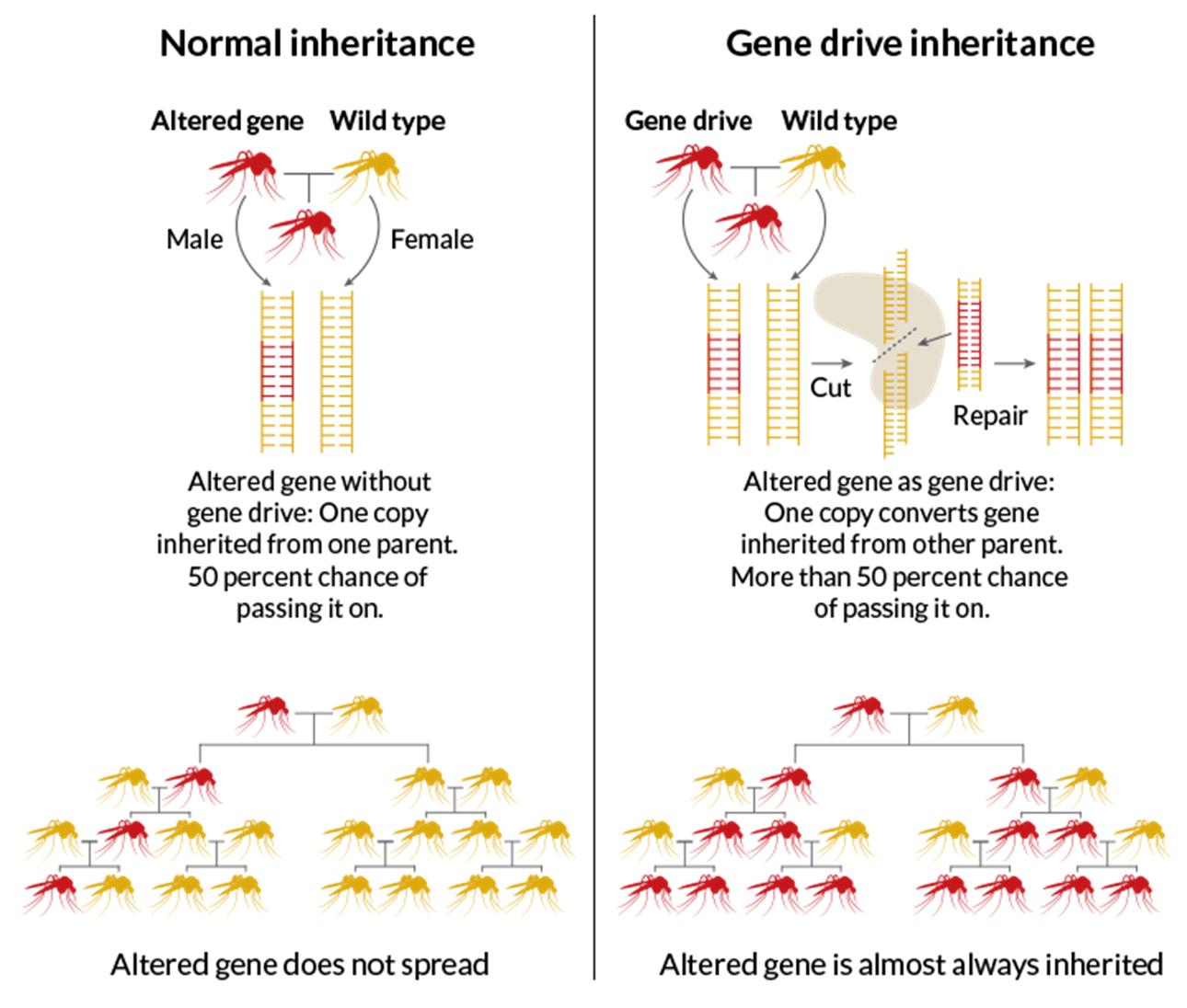 Using CRISPR to alter mosquito cells to eliminate malaria